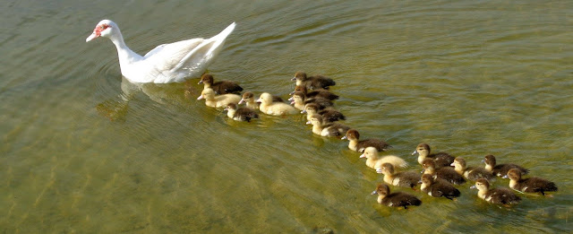 Mother muscovy duck and 21 chicks