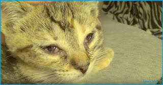 Mata Kucing Berair terus dan cara menyembuhkan