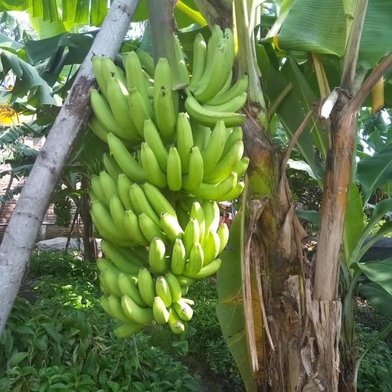 Tanaman Bibit Buah pisang cavendish Okulasi Cepat Berbuah Palangkaraya