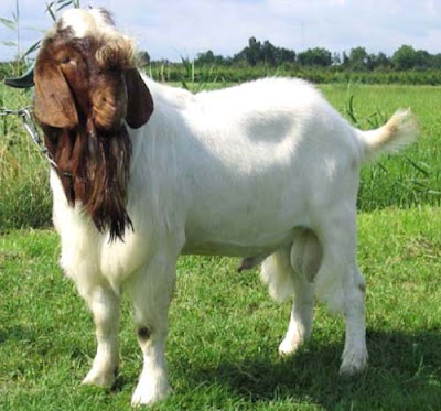 boer goat, boer goats, information about boer goat, common information about boer goat, boer goat farming