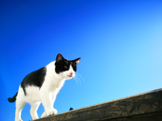 black and white cat walking on top of wall, bright blue sky behind