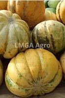 budidaya blewah, manfaat blewah, buah blewah, jual benih blewah unggul, toko pertanian, toko online, lmga agro