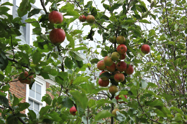 Clusters of red ripe Braeburn apples on the tree