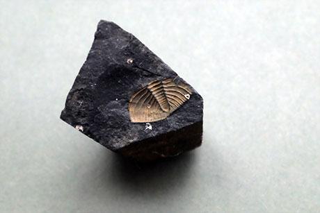 Bivalve Fossil © Graeme Walker / Pebble Museum 2019