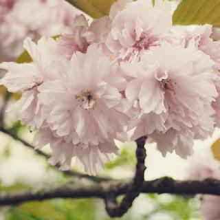 kirschblueten-fruehling-blog