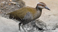 Rail bird pictures_Rallidae