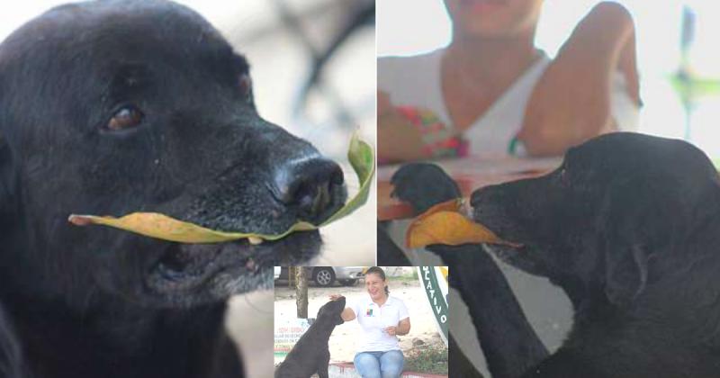 black Labrador , clever dog, negro dog