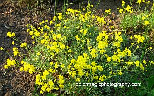 Alyssum saxatile plant-flowers and foliage