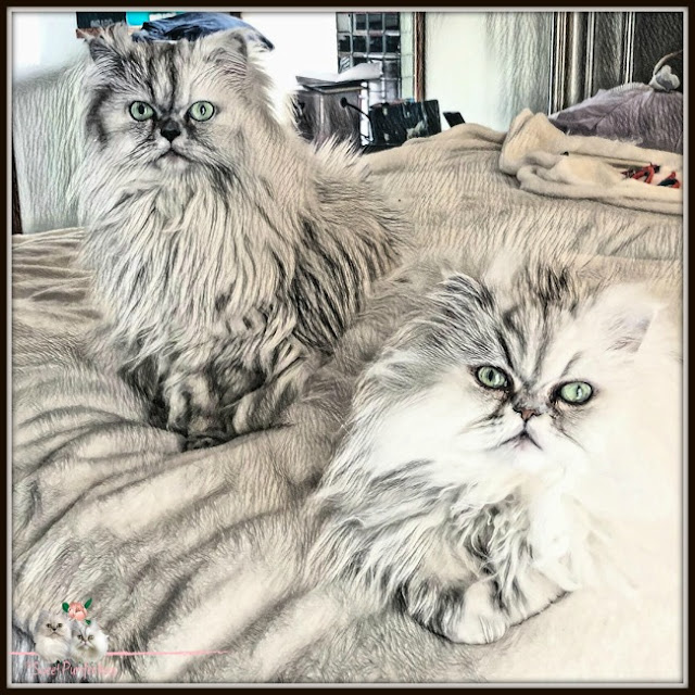 two silver shaded persian cats on bed with artistic edits