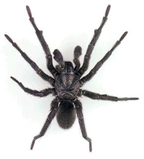 trapdoor spider facts