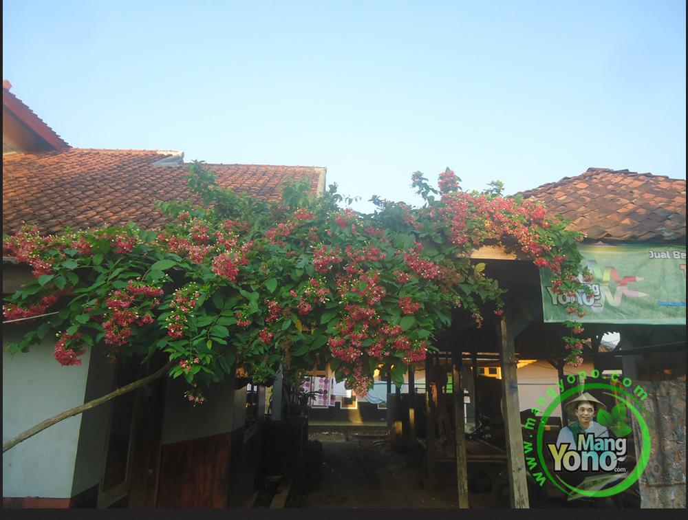 Bunga Melati Belanda Melati Merah Chinese Honeysuckle