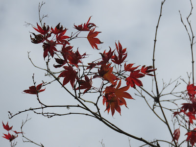 photo of Red maple leaves on a partially bare branch, against a grey sky