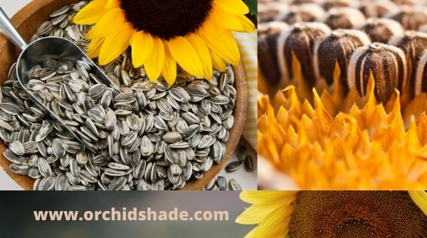 The sunflower is a truly amazing flower and Valuable seedpod