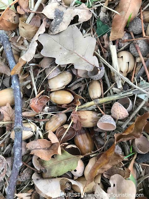 Acorns and pieces of wood on the forest floor