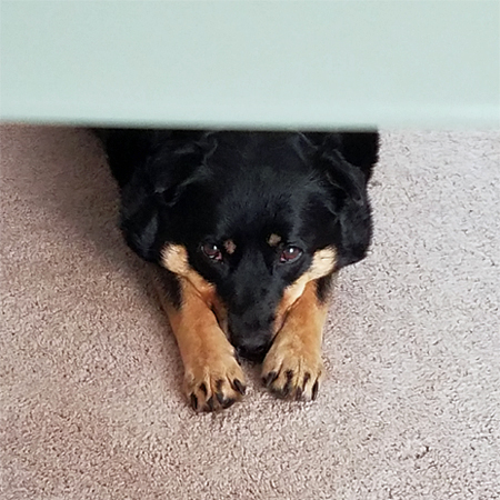image of Zelda the Black and Tan Mutt lying on the floor under my desk, her chin resting on her paws, looking up at me