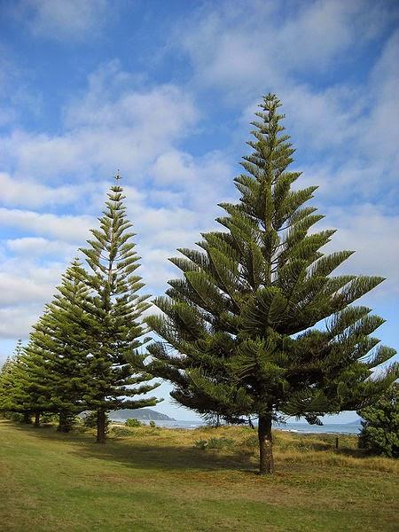 Jenias tanaman hias - Cemara Norfolk