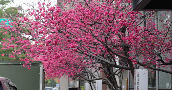 《台中.北區》2018香蕉新樂園八重櫻盛開,平地賞櫻好去處