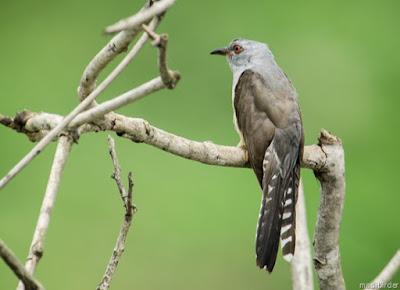 Suara Mistis Burung Kedasih