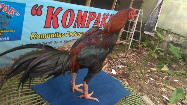Manfaat Ginseng Untuk Ayam Bangkok Aduan