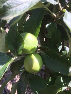 Apple cordon