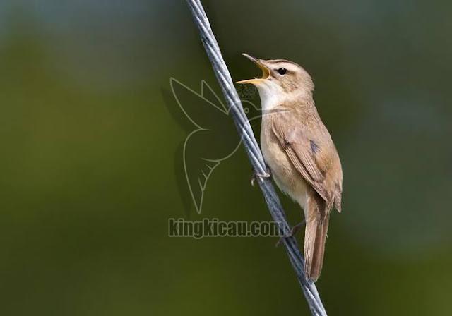 Burung kerakbasi