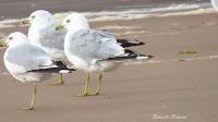 Ring-billed Gulls – Souris area, PEI – July 27, 2013 – Roberta Palmer