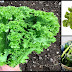 Benefits Of Eating Mustard Greens
