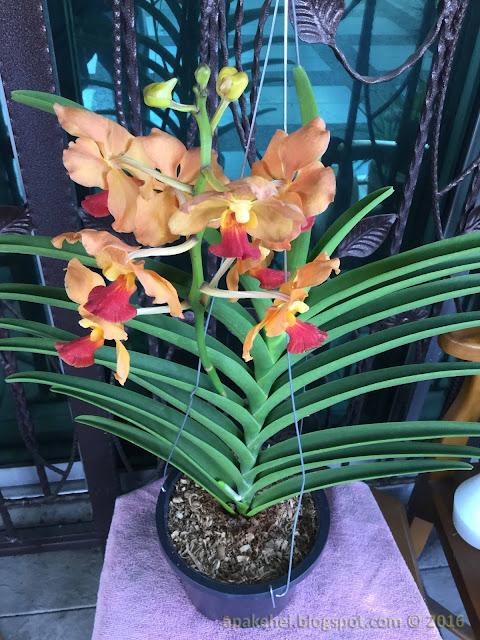 Pokok Orkid