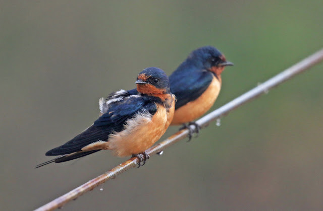 Barn swallows may indeed have evolved alongside humans