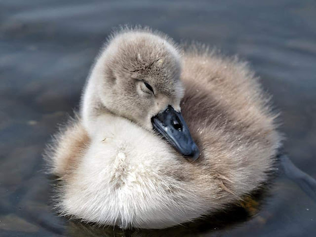 A duckling sleeping in the pond