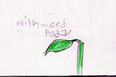 A drawing of a milkweed pod from a nature notebook