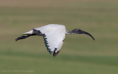 African Ibis in flight against the Milnerton Golf Course
