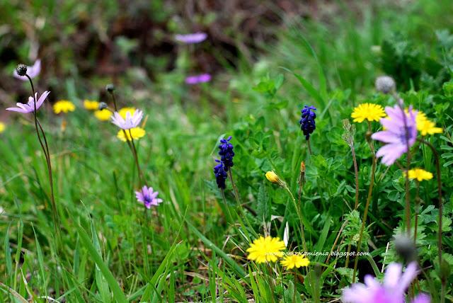 wiosenne łąki w Toskanii