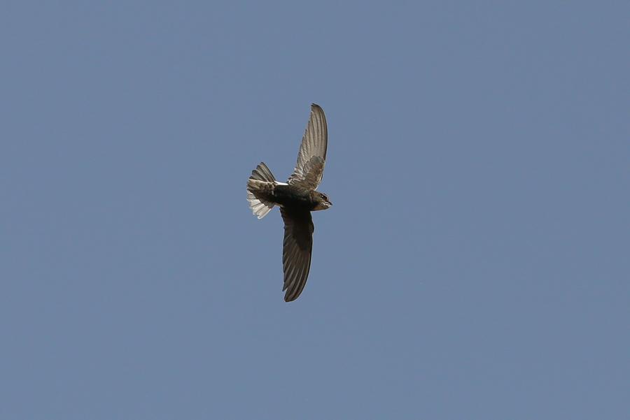 Little Swift Nesting – Wadi Grosbeak