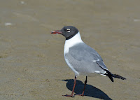 Laughing gull, mating plumage, South Padre Island, TX - by Andy Reago and Chrissy McClarren, Feb. 2015