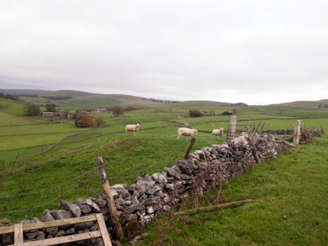 A dry stone wall separating two green fields.  There are three white sheep in the left hand field