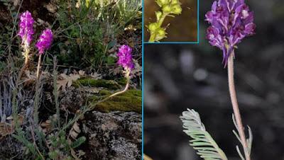 Una planta nueva para la ciencia presente en el Valle del Jerte