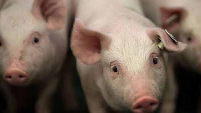 Sekitar 3.000 Babi Terpapar Demam Babi Afrika Dimusnahkan di Hong Kong