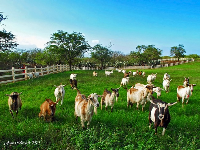Agro Farming Business In India: Project Report On Goat Farming In India