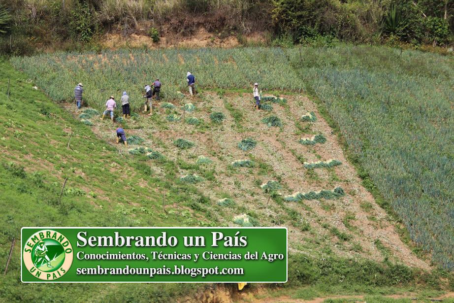 cosecha de cebollín