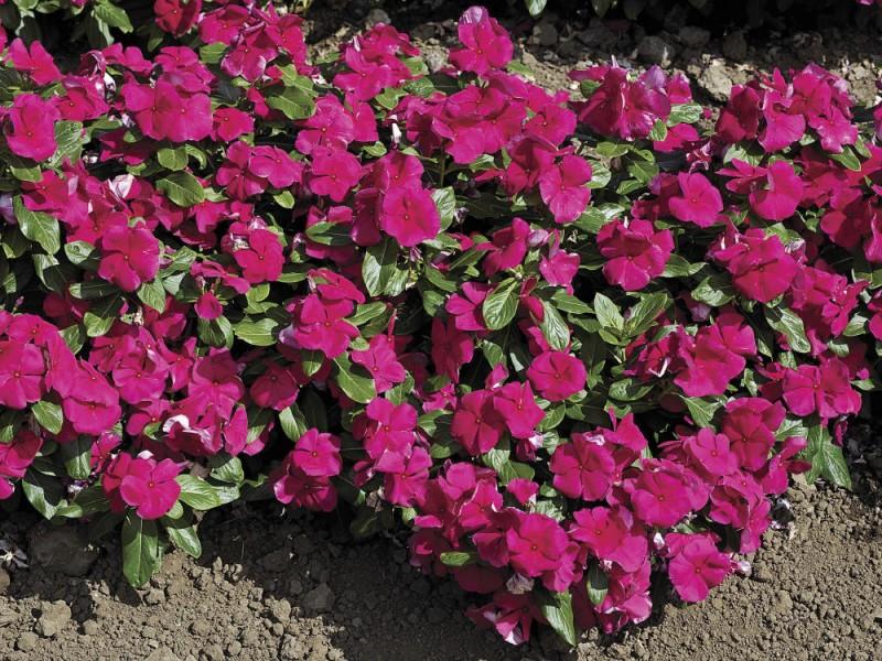 Dr Dan S Garden Tips Vivid Vincas