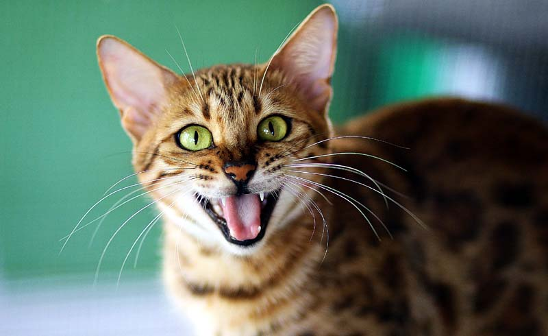 How to Properly Examine Your Cat's Teeth and Gums