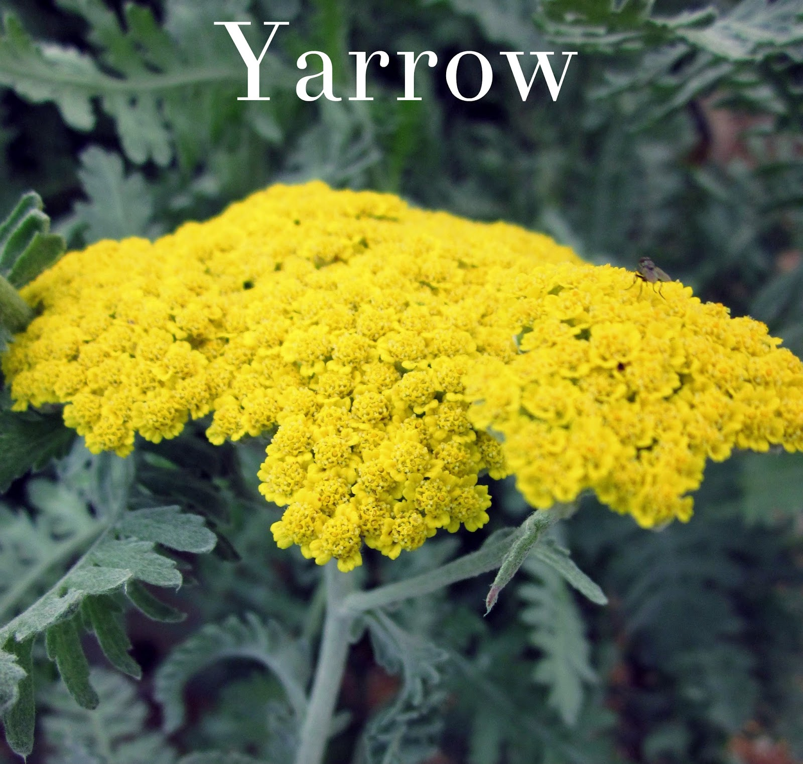 Alphabetical List Of Perennial Flowers Perennial Flowers U Z