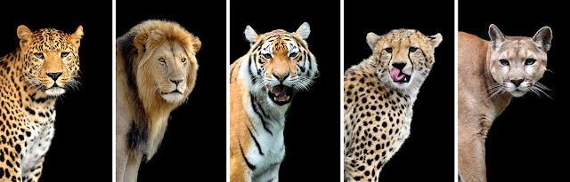 photos of leopard, lion, tiger, cheetah, puma