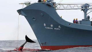Japan to Withdraw from the International Whaling Commission