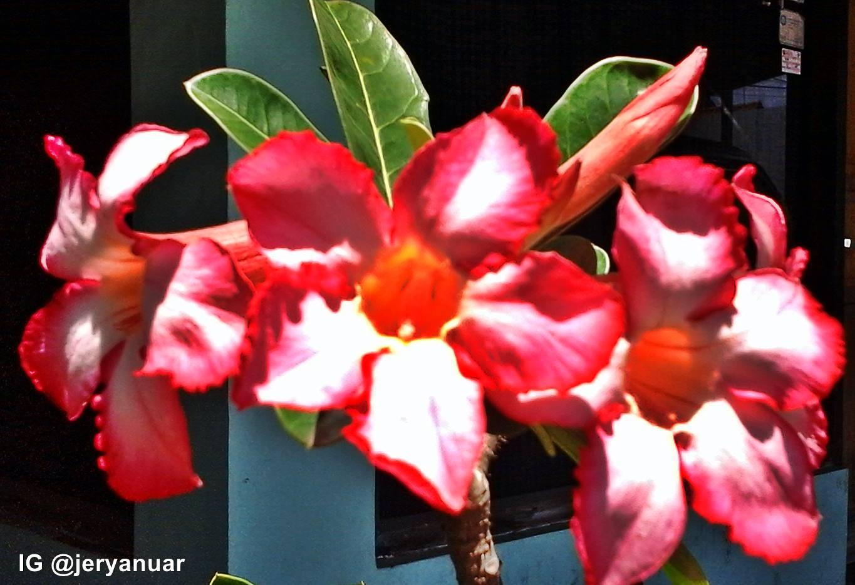 Cara Rangsang Bunga Adenium