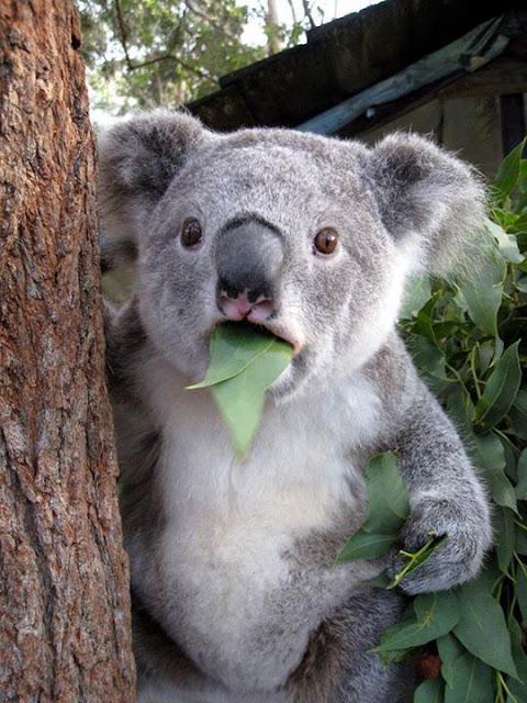 Pictures of Animals, A splendor koalas