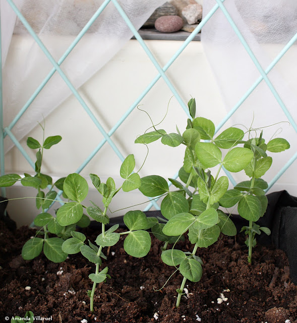 Sugar peas grown in container