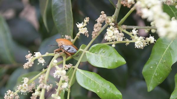 彰化縣釋放平腹小蜂生物防治 荔枝椿象滅蟲計畫