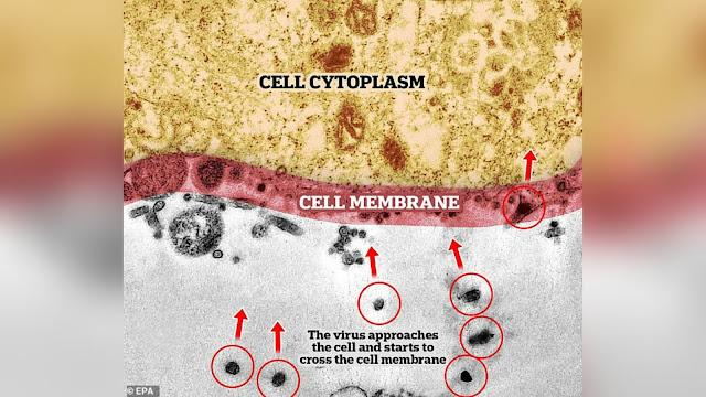 Diperbesar 2 Juta Kali, Ini Momen Virus Corona Serang Sel Sehat